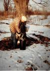 Tom Collecting Sap at the Farm